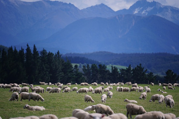 merino wool sheep new zealand