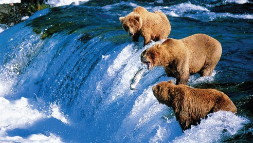 Seeing brown bears is one of the many attractions of Alaska.