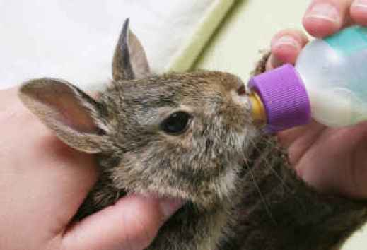 bottlefeedingcottontail