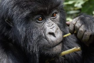 Gorilla Rwanda