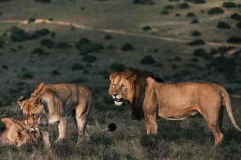 animal grass grassland lion