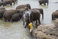Elefanti Pinnawala3