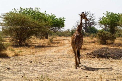 giraffa Bandia