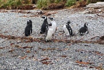 Pinguini Magellano Patagonia
