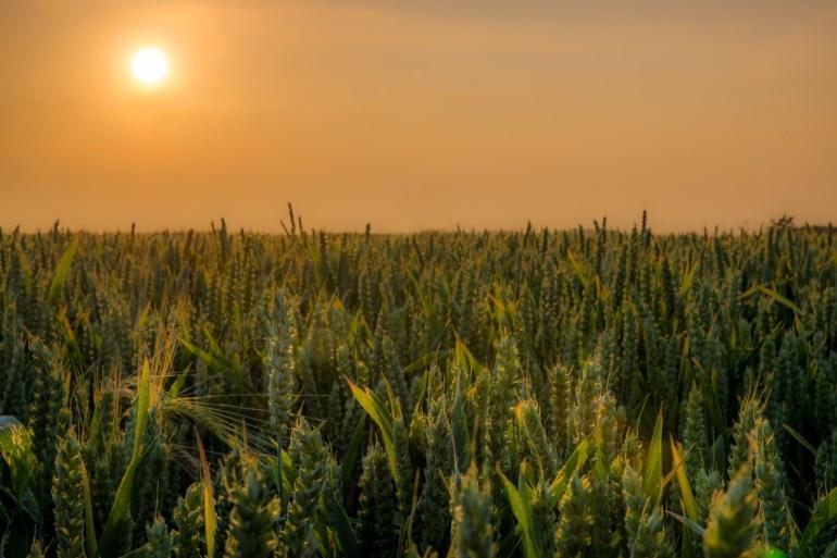 Cornfields of Suffolk
