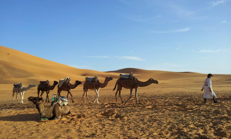 caravan of camels, erg chebbi, sahara, morocco