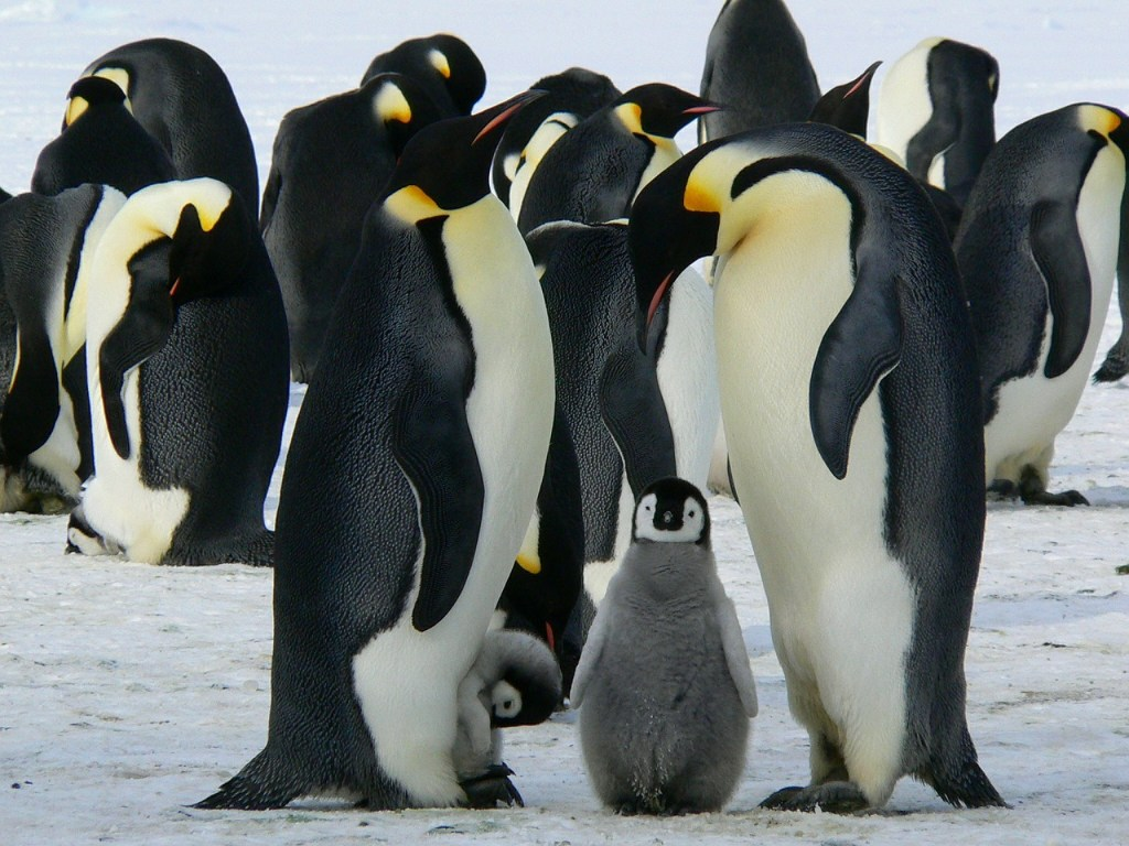 Emperor Penguins, Antarctica, adventure travel