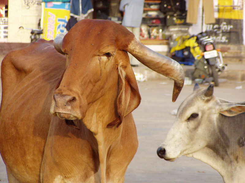 The holy cows of India