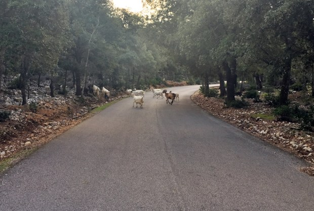 Goat crossing...