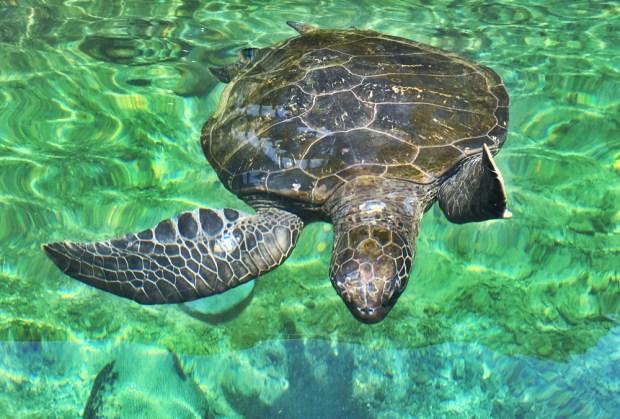 Green Sea Turtle Hervey Bay