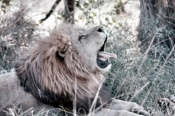 Encounter Overland travellivelearn.com lion