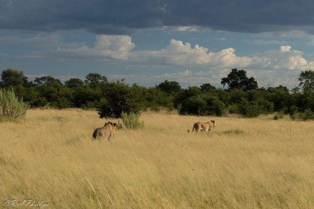 africa-lions-in-khwai-botswana-rebecca-phillips-and-andrea-pompele-travellivelearn-com