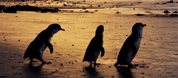 Phillip Island travel live learn penguins 2