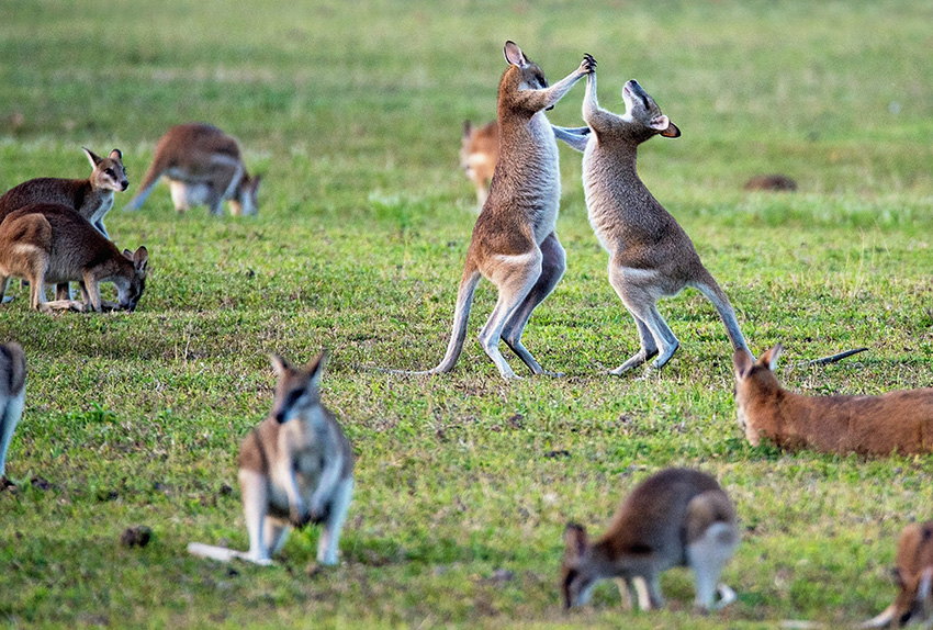 House sitting Australia guide - do kangaroos really jump down the street