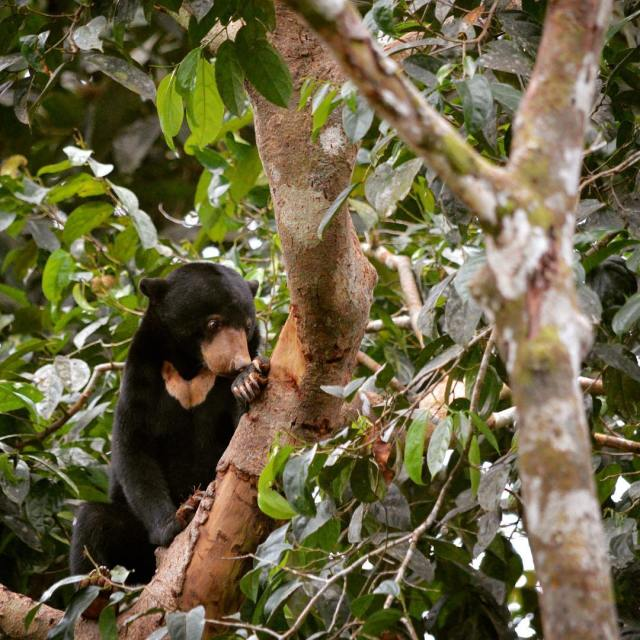 New blog post Sun bears in sepilok  we lovedhellip
