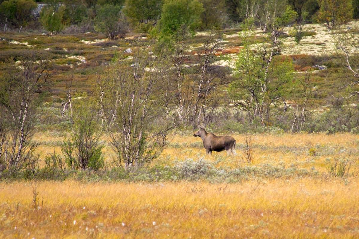Junger Elch im Dovrefjell Nationalpark