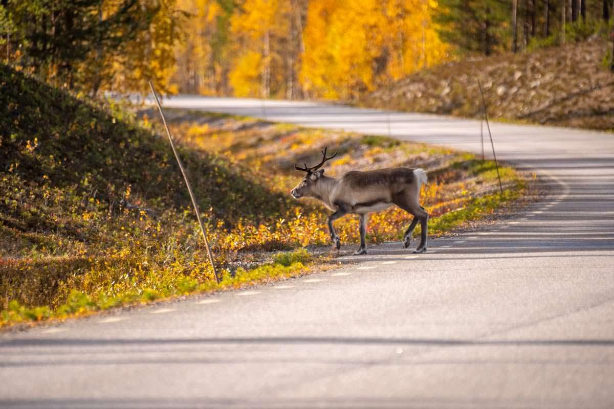Rentier auf Straße in Lappland