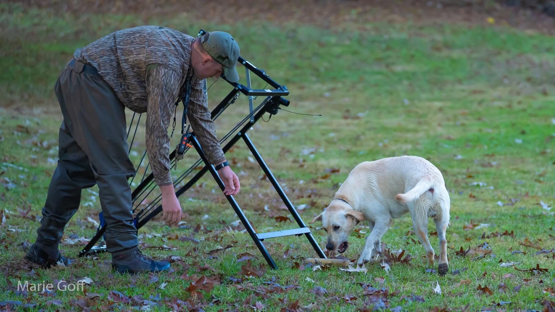 Labrador retriever in training