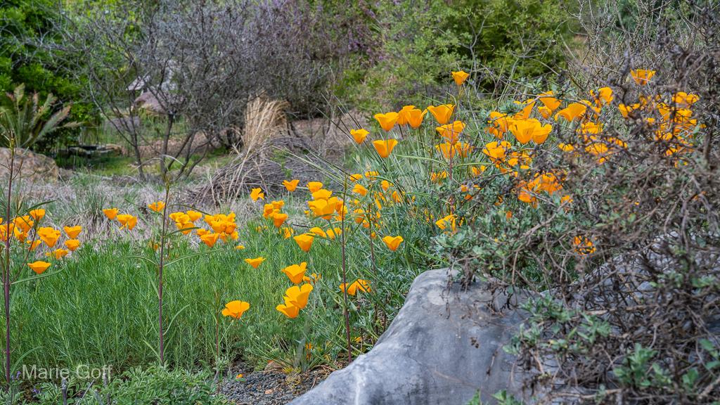 California Poppy wildflower