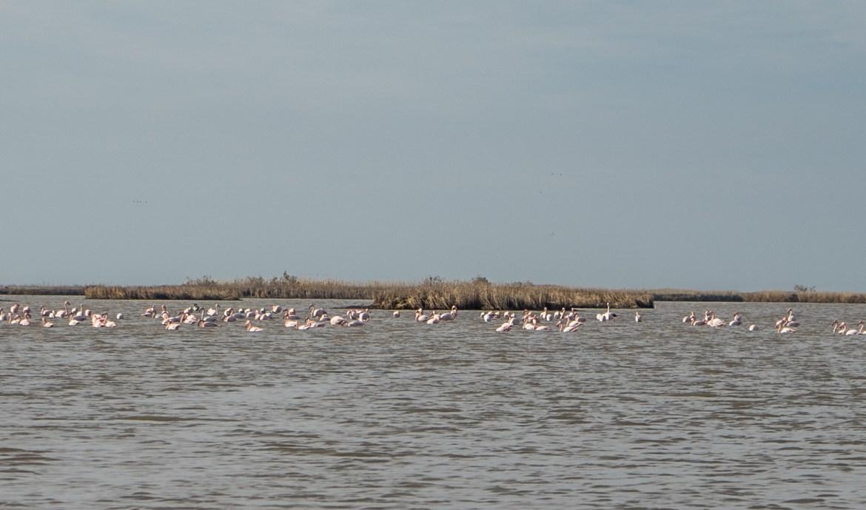 flamingo evros