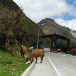 Alpacas in Cuenca Ecuador