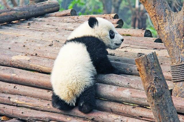 Chengdu china panda bears
