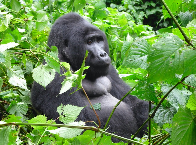 head to the mountains to see gorillas as an alternative to the classic african safari
