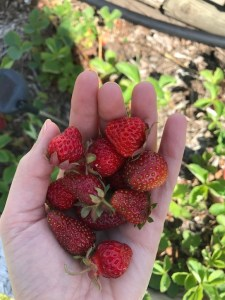 growing our own strawberries in our garden at the lake - rv living