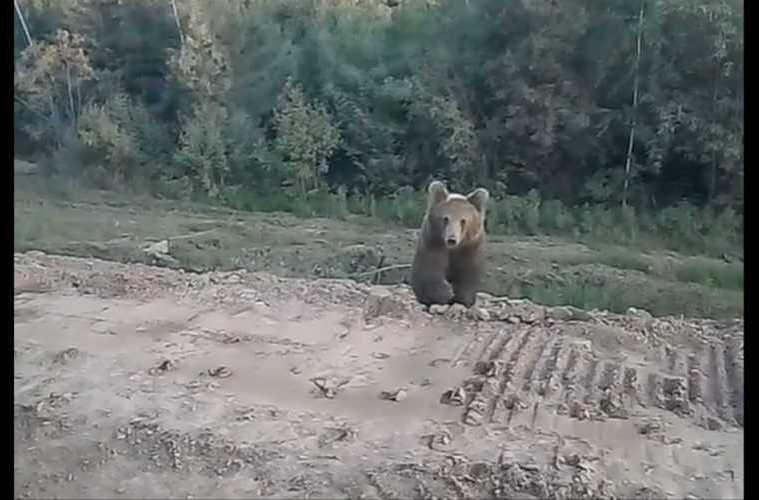 Bear Attacks Car Video