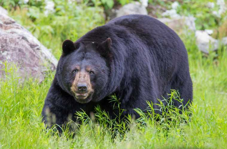 Black Bear Kills American Woman While On Vacation In Canada