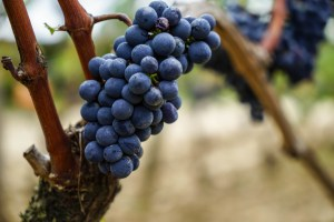 Grapes of Smith Haut Lafitte