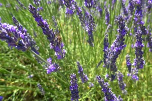 lavender-2016-14