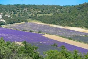 lavender-2016-2