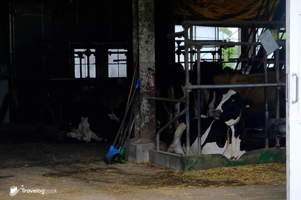 場內飼有不同品種的牛牛,黑白色的則是源自德國的Holstein牛,是很有代表性的乳牛。