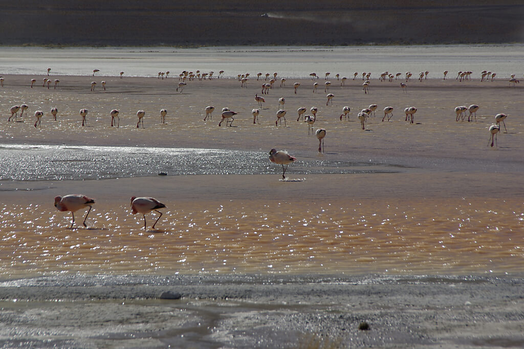 Flamingos an der Laguna Colorada in Bolivien