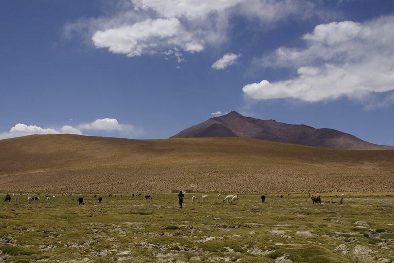 Lamas auf der Hochebene von Bolivien