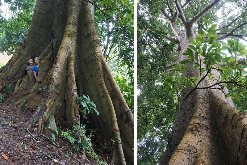 Riesenbaum am Mount Agou