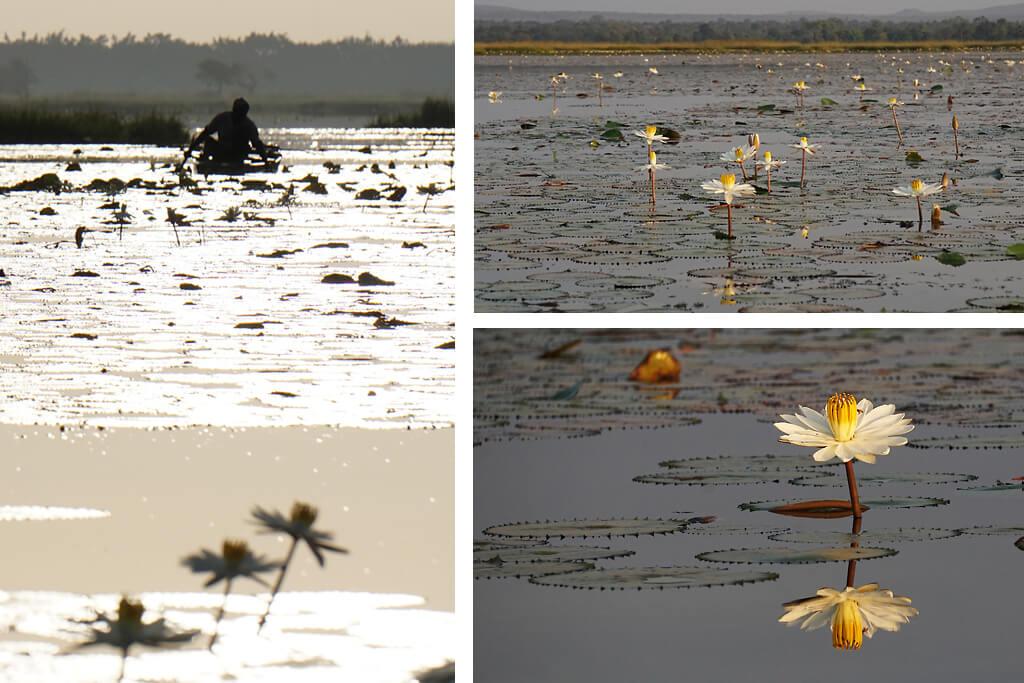 Seerosen auf dem See Téngréla bei Banfora