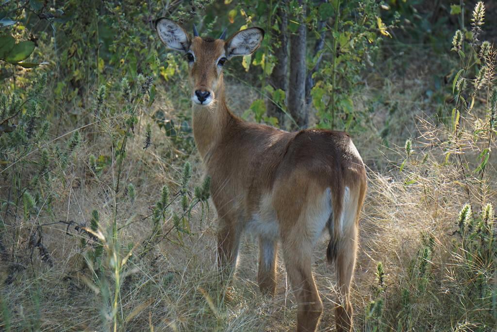 Antilope im Mole Nationalpark in Ghana