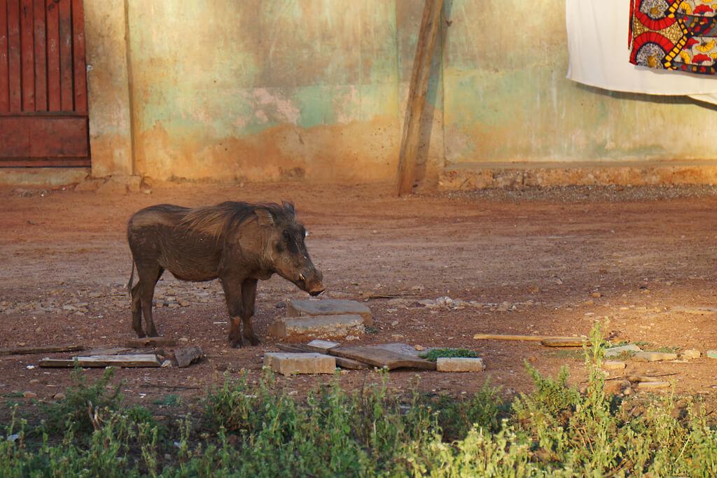 Wildschwein im Mole Nationalpark in Ghana