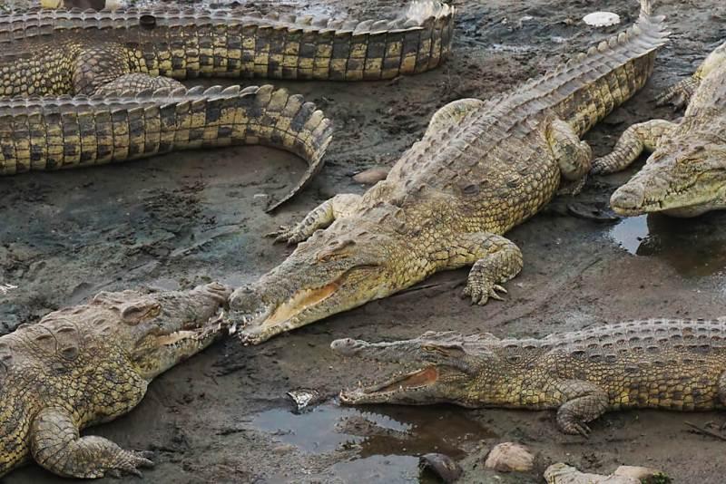 Heilige Krokodile in Yamoussoukro