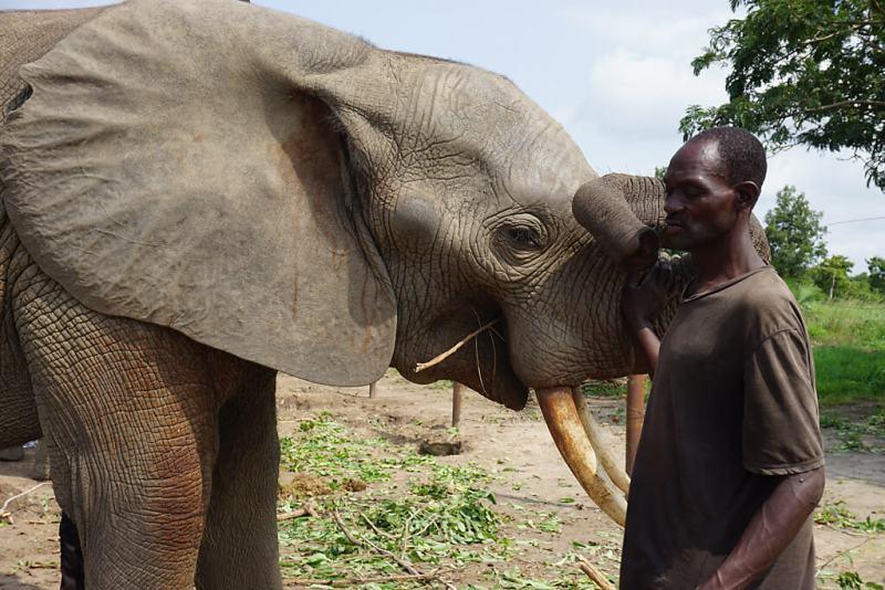 Halbzahlmer Elefant mit seinem Pfleger im Park Djamde in Togo
