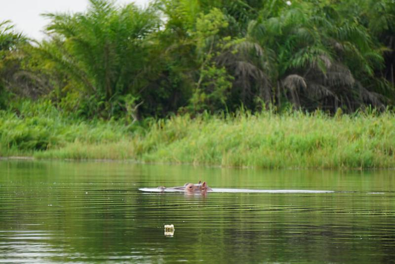 Nilpferd im Maar Afito in Togo