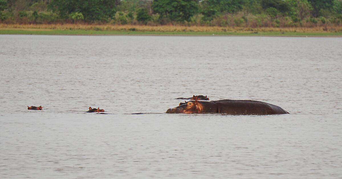 Flusspferde im Maar bei Mango, Togo