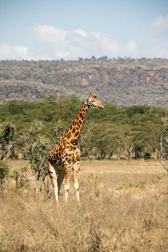Rothschild-Giraffe ...