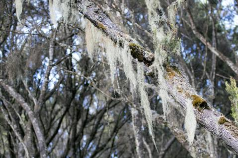 Mystische Bäume im Moorland des Aberdare Nationalpark