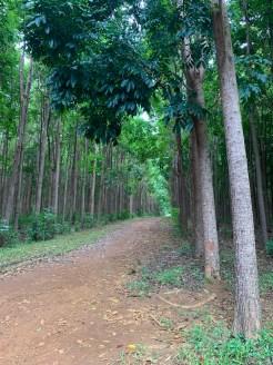 Mahi Mahakonia Mahogany Plantation