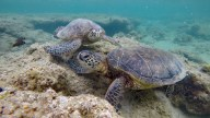 Two Honu together