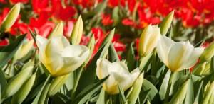 Holland America Line krijgt eigen tulp
