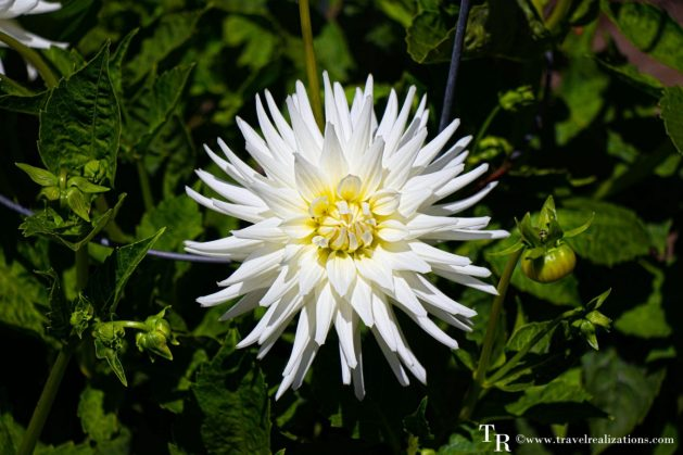 Mendocino Coast Botanical Gardens - A Photo Essay, White Flowers, Travel Realizations